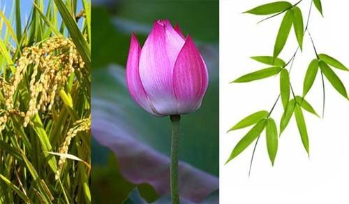 """Lúa, sen, tre là những loại cây/hoa được nhắc đến nhiều khi bàn về việc chọn """"quốc hoa"""""""