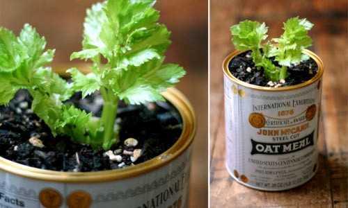 Trồng gốc cần tây vào đất dinh dưỡng để có rau cho những lần sau