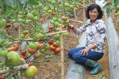 Bà Cúc tại vườn cà chua Beef. Ảnh: Quốc Dũng