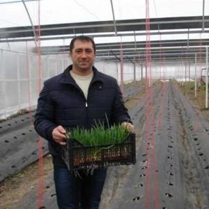 Thu hoạch rau trồng trong nhà kính.