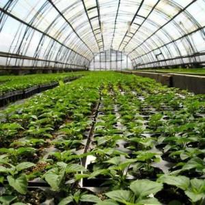 Trồng rau nhà kính tại một trang trại ở Kuban.