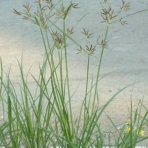 cây cỏ cú