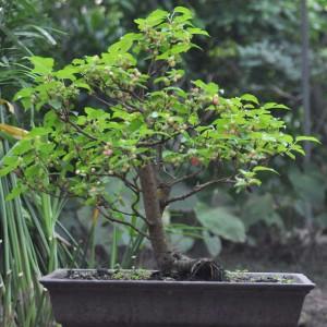 cây dâu tằm
