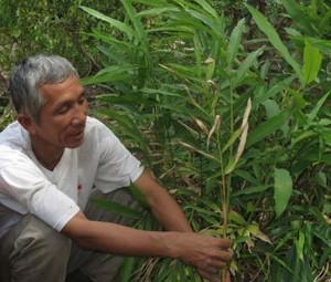 Ông Lê Công Tảo giới thiệu cây sa nhân tím