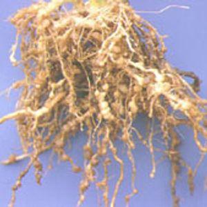 Tuyến trùng ký sinh trong rễ, làm bộ rễ bị biến dạng