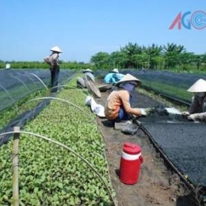 Rau an toàn được trồng tại các tổ sản xuất