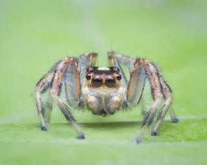 Nhện nhảy. Các nhà nghiên cứu đã xem xét những thay đổi trong hành vi của nhện nhảy màu đồng trước và sau khi tiếp xúc với Phosmet, một loại thuốc trừ sâu phổ rộng được sử dụng rộng rãi. Đây là một phát hiện có ý nghĩa sâu rộng đối với sản xuất nông nghiệp và sức khỏe hệ sinh thái. Ảnh: afpejaphotographer / Fotolia