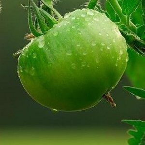 A green tomato on the vine .
