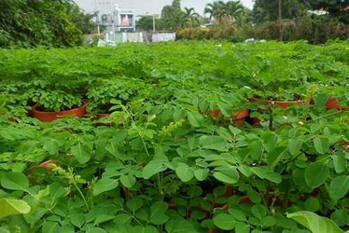 Rau chùm ngây có rất nhiều ở Việt Nam.