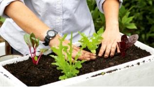 Nén nhẹ đất xung quanh gốc rau sau khi trồng