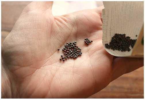 Chỉ có những hạt đạt chất lượng mới cho ra những cây bắp cải khỏe mạnh.