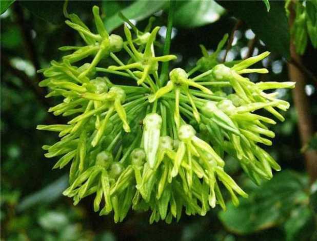 Để trồng được hoa thiên lý thông thường người ta sẽ dùng biện pháp giâm cành.