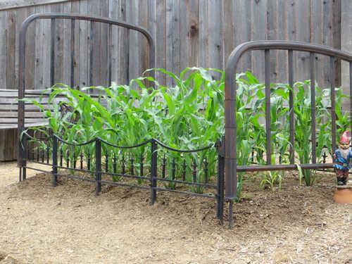 """Cách trồng ngô """"bảy sắc cầu vồng"""" lạ chưa từng thấy - cach trong ngo 7 sac cau vong4"""