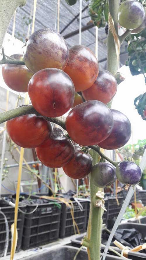 Nhờ phương pháp thủy canh, một cây cà chua cho sản lượng rất lớn