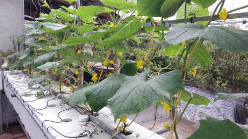 Những gốc mướp xanh tốt và cho hoa đơm quả
