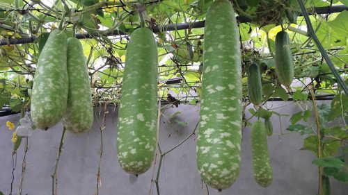 Đặc biệt, tất cả loại quả dây leo được trồng chung giàn