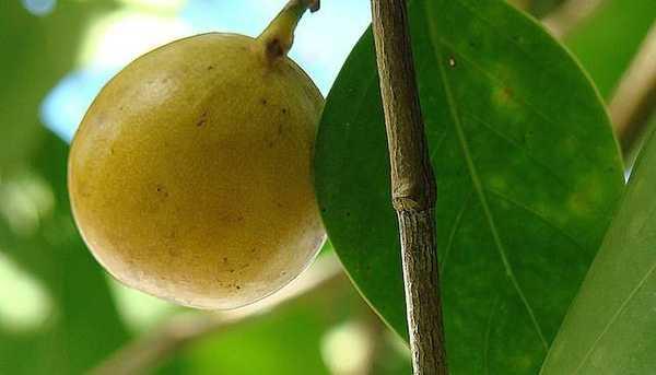 Khi đốt loại cây này cũng có độc, có thể gây viêm mắt hoặc mù tạm thời.