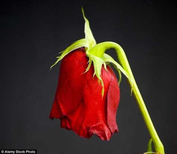 Sản phẩm RNA giúp hoa hồng tươi thắm trong thời gian dài hơn.