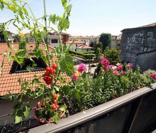Dùng những chậu treo là cách những ai sở hữu ban công nhỏ có thể xem xét tới, vừa đơn giản, dễ trồng lại không hề tốn diện tích. Tuy nhiên với cách này, các lựa chọn cây rau cũng khá hạn chế cho bạn.