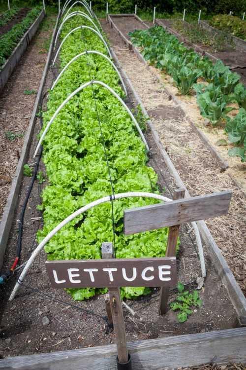 Khu vườn này được sắp xếp theo những khuôn rau dài và mảnh. Với cách này, bạn có thể trồng được một số lượng lớn các loại rau, có thể đủ cho các bữa ăn hàng ngày.