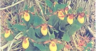 Cypripedium calccolus var. parvijlorum có hoa nhỏ, màu vàng, hình dáng giống chiếc hài của phụ nữ, thơm ngát, hoa nở vào mùa .xuân và buông rũ xuống.