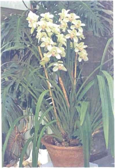 Hoa của cây lan A.Cymbidium vẫn giữ được vẻ dẹp khi đã nở vài tuần, khi hộ rễ của nó được cung cấp lượng hơi âm ổn dịnh.