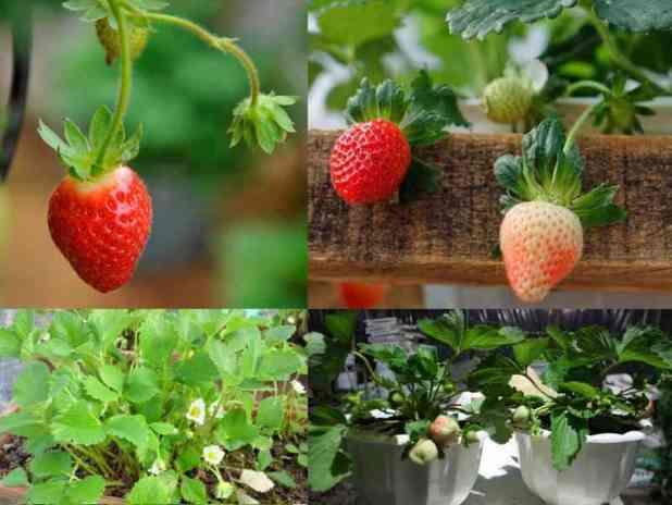 Chú ý đến kỹ thuật trồng cây và chăm sóc sẽ cho ra những chậu dâu tây vừa có quả, vừa làm cảnh đẹp mắt