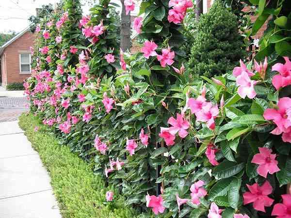 Kỹ thuật trồng cây hoa Hồng Anh có thể áp dụng như giâm cành, trồng bầu cây. Ảnh minh họa