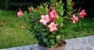 Kỹ thuật trồng cây hoa Hồng Anh trong chậu cũng mang vẻ đẹp dịu dàng, kiêu sa. Ảnh minh họa