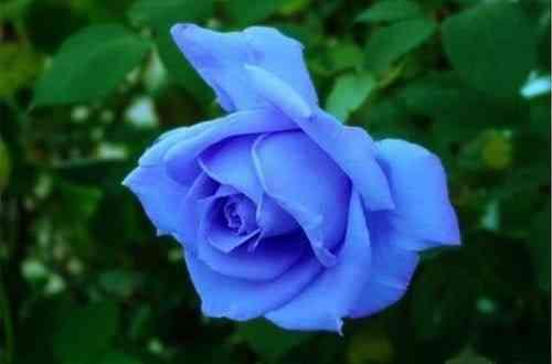 Hoa Hồng xanh đại diện cho tình yêu bất diệt, một tình yêu chung thủy và bền lâu theo thời gian. Ảnh minh họa