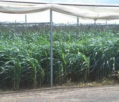 Phân xanh trong mùa mưa rất quan trọng để giữ đất không bị bệnh tật, như trong hình trên ở một trại trồng dưa leo có mái che.
