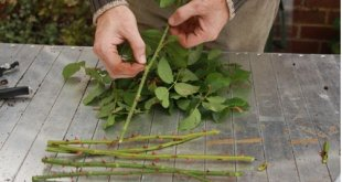 Ngắt bỏ những nụ hoa đã tàn. Sau đó bạn cắt bỏ toàn bộ lá trên cây.