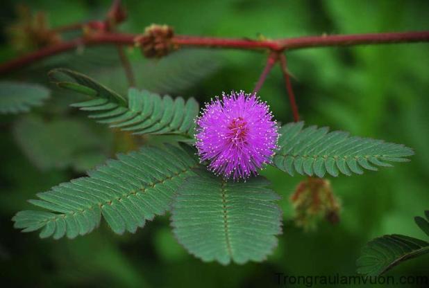 cây hoa mắc cỡ hay còn gọi là cây trinh nữ