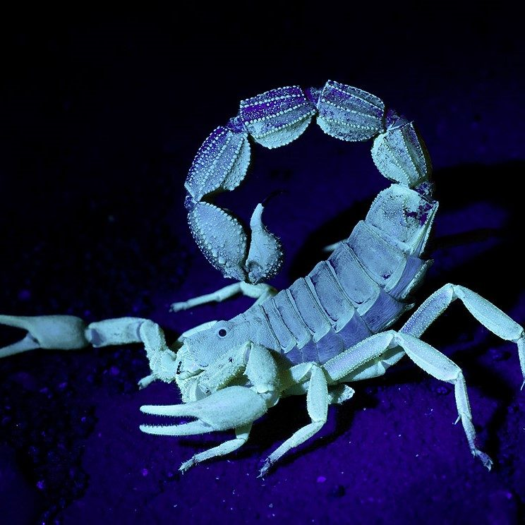 Exo Terra skorpion LED lys 2w