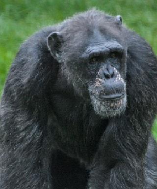 Image of: Rainforest Plants Endangered Rainforest Animal Facts Chimpanzee World Atlas Endangered Tropical Rainforest Animal Facts
