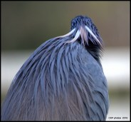 I love the contrast of the tri colored heron's feathers, like a headdress.