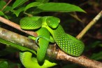 Vogel's green pit viper (Triemeresurus vogeli), is known from the Cardamoms