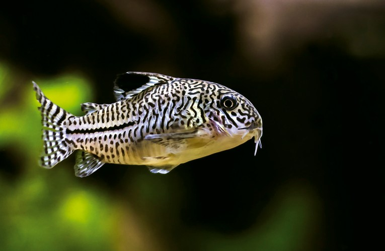 Three-lined cory (Corydoras trilineatus)