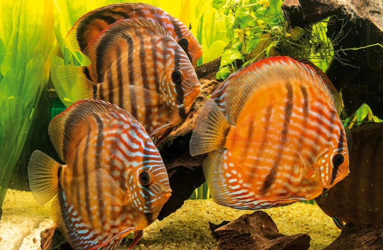 Discus fish for beginners