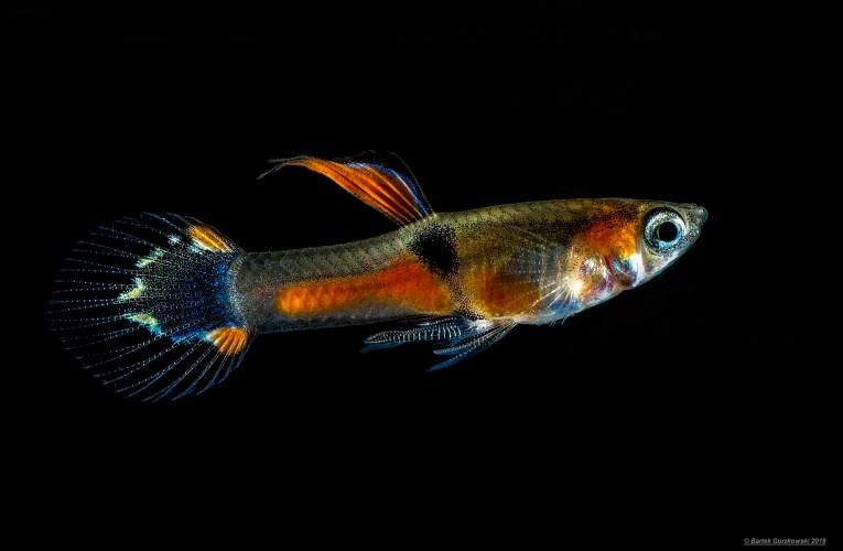 Endler's livebearer (Poecilia wingei) – wild types