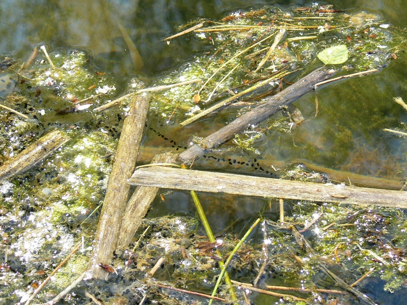 Kijanki wylęgające się zeskrzeku wśródleśnym jeziorku.