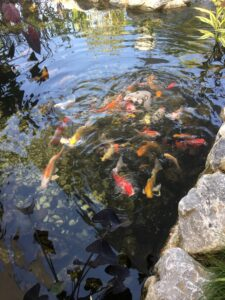 Koi Fish Cafe : Restocking, Making, Plant, Filter, Tunys, Tropical, Fitness, Centre