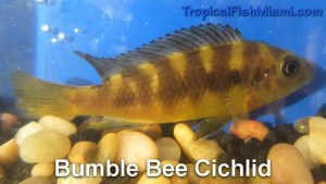 Bumble Bee Cichlid