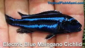 Electric Blue Maingano