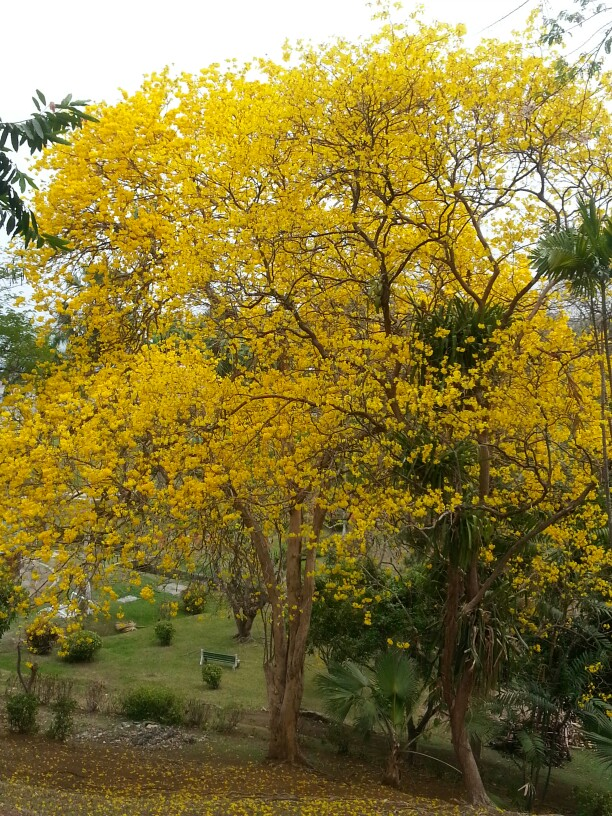 yellow poui 3