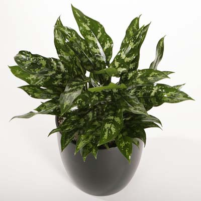 Aglaonema – Tropical Plant Technician