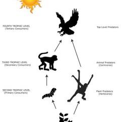 Deciduous Forest Food Chain Diagram Skeleton With Bone Names Biotic Descriptors - Tropical Rainforest