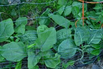 Week 3. Portuguese Kale, Eggplant.