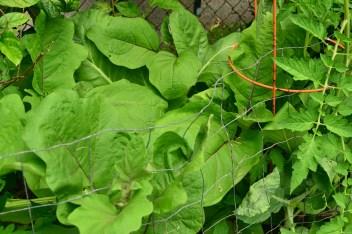 Week 4. Portuguese Kale, Eggplant.