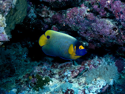 Blue-Girdled Angelfish, Papua New Guinea